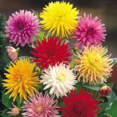 UDSOLGT – Dahlia – Cactus mixed19 kr. pr stk15 kr. v/3 stk13 kr. v/10 stk