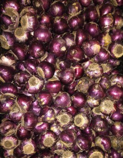 Hyacintløg Fondante Pink Hyacint 10 stk 49,- kr 25 stk 99,- kr